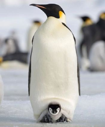 papà_pinguino